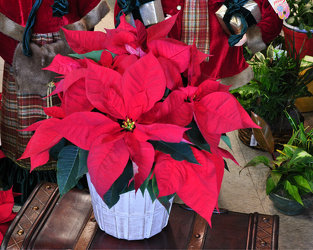 Red Poinsettia Upper Darby Polites Florist, Springfield Polites Florist