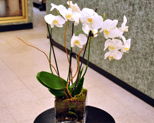 White Orchid Plant Upper Darby Polites Florist, Springfield Polites Florist